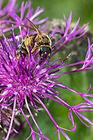 Dickkopf-Furchenbiene, Furchenbiene, Schmalbiene, Weibchen, Halictus maculatus, Tythalictus maculatus, female, sweat bee, flower bee, halictid bee, Furchenbienen, Halictidae