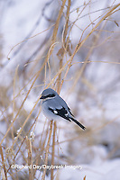 01421-00809 Loggerhead Shrike (Lanius ludovicianus) in prairie in winter, Marion Co.   IL