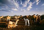 Camels, Mpala, Nanyuki, Kenya