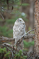 Great Gray Owl in Yellowstone National Park, Wyoming