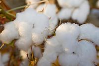 Cotton - Close-up,  near Los Banos, CA