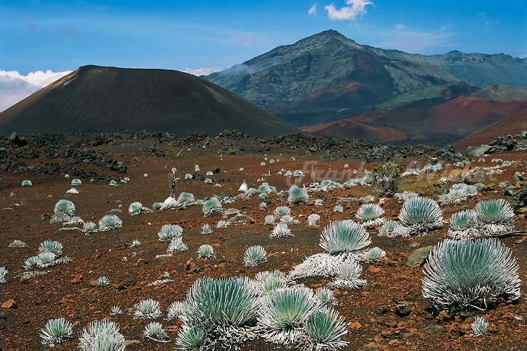 An expansive field of Silverswords in the crater of HALEAKALA NATIONAL PARK on Maui in Hawaii