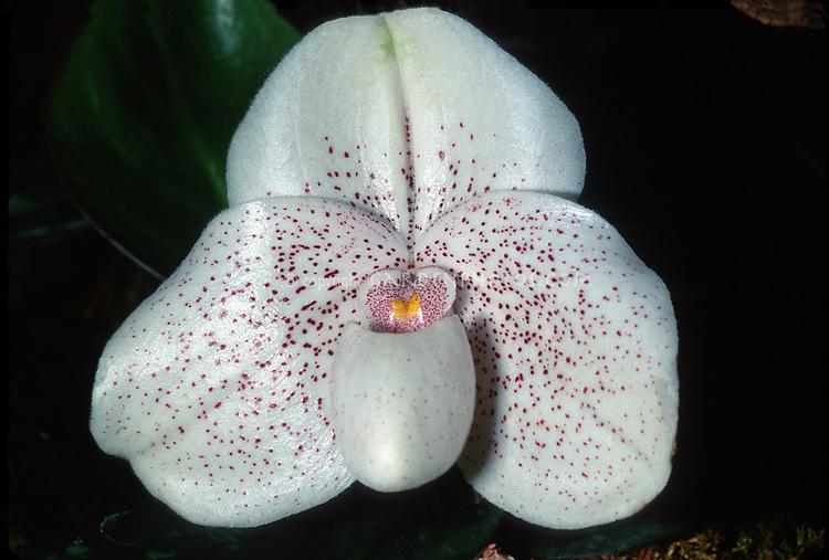 Paphiopedilum Gemini, orchid hybrid of Conco-bellatulum x John Jack, 1998, tropical lady slipper, white flower with red spots, pretty