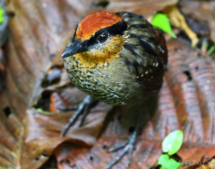 Rufous-crowned antpitta
