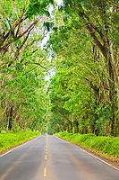 Tree Tunnel, Maluhia Road, Koloa, Kauai, Hawaii, USA