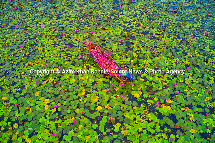 Pictured: Farmers on boats glide along a canal completely covered in green lily-pads as they harvest their vibrant pink flowers.  The workers carefully navigated the 8ft-deep body of water and packed their gondola-style wooden boats with piles of the fuchsia-coloured lilies.<br /> <br /> The delicate freshwater plants hovered among the lily-pads before they were hand-picked by workers in Barisal, Bangladesh.  Donning rainbow-splashed sunhats, the farmers had to be careful to avoid poisonous water snakes which tend to lurk beneath the blooms.  SEE OUR COPY FOR MORE DETAILS.<br /> <br /> Please byline: Azim Khan Ronnie/Solent News<br /> <br /> © Azim Khan Ronnie/Solent News & Photo Agency<br /> UK +44 (0) 2380 458800