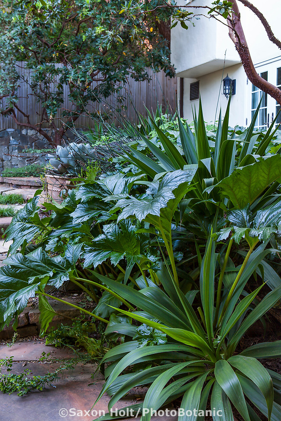 Acanthus mollis, Bear's Breeches, with the spikey but soft foliage texture of Beschorneria yuccoides ; in backyard shadey patio; McAvoy Garden - California summer-dry garden; Ground Studio Landscape Architecture