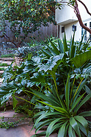 Acanthus mollis, Bear's Breeches, with the spikey but soft foliage texture of Beschorneria yuccoides ; in backyard shadey patio; McAvoy Garden - California summer-dry garden; Ground Studio Landscape Architecture