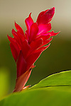 Red Tropical