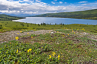 Lessings Arnica wildflowers blooming on the spring tundra, Wonder Lake, Denali National Park, Alaska