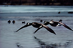 A pair of canada geese taking off.