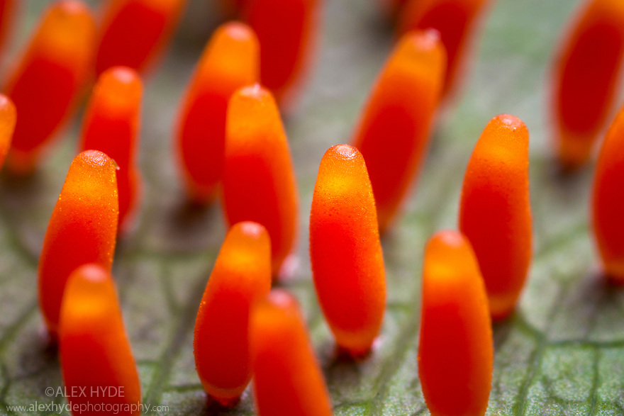 Butterfly eggs on a the underside of a Passion Flower vine leaf {Passiflora sp.}. San Jose, Costa Rica. May.