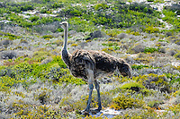 The Cape of Good Hope  on the Atlantic coast of Cape Peninsula, South Africa. Ostrich.