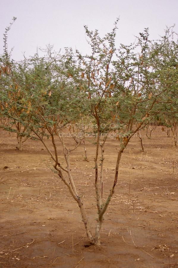 Gum Arabic Acacia Senegal Tree Niger West Africa Cecil Images