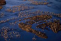 Sandhill cranes roosting along Platte River, Nebraska. March.  Morning.