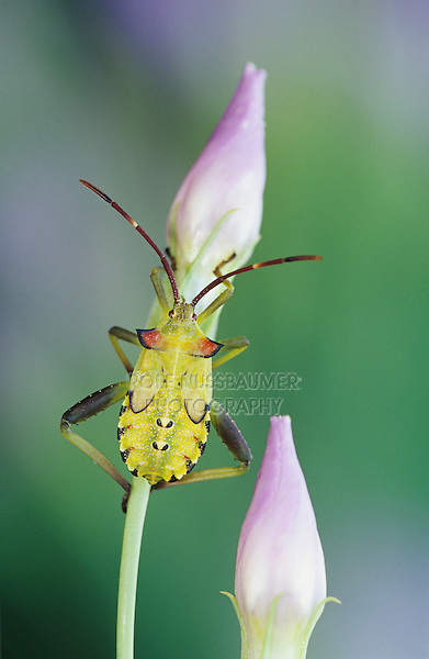Stink Bug, Pentatomidae, young on Bluebells (Eustoma grandiflorum) , Willacy County, Rio Grande Valley, Texas, USA