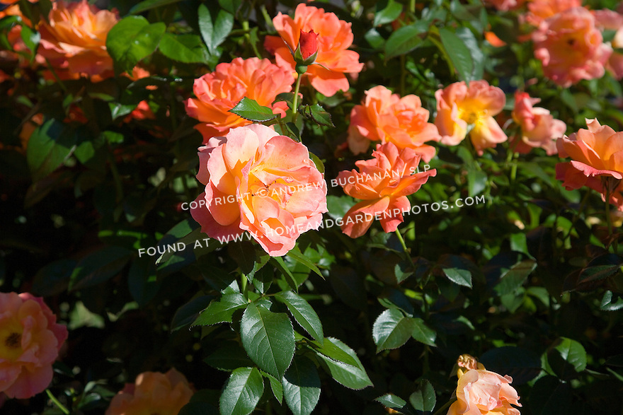 Beautiful salmon-colored roses are set against dark green, glossy leaves in the fall garden.