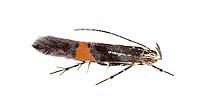 34.007 (0896)<br /> Cosmopterix orichalcea