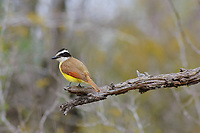Adult Great Kiskadee (Pitangus sulphuratus). Willacy County, Texas. March.