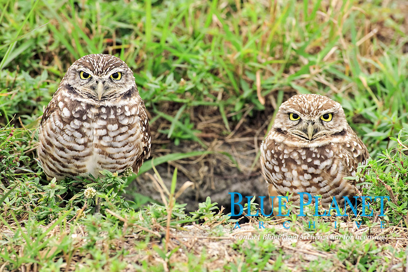burrowing owl, Athene cunicularia, adult, mating pair at nesting burrow entrance, Cape Coral, Florida, USA, North America