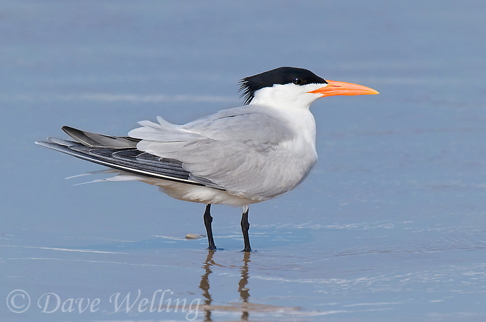 581700001 a royal tern thalasseus maxima in breeding plumage stands in the surf at boca chica beach along the texas gulf coast