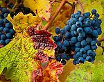 wine on the vine on Ledger David vineyard