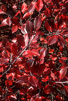 Prunus maritima in Autumn Color fall foliage, Beach Plum, Shore Plum shrub