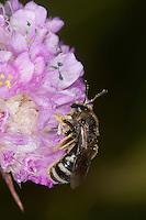 Furchenbiene, Schmalbiene, Furchen-Biene, Schmal-Biene, Weibchen beim Blütenbesuch, Nektarsuche, Blütenbestäubung, Lasioglossum spec., sweat bee, European halictid bee, Furchenbienen, Schmalbienen