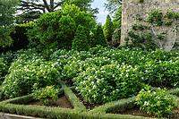 France, Indre-et-Loire (37), Amboise, château d'Amboise, au sud de la terrasse, parterre de rosiers rugueux blancs et broderie de ??
