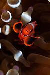 Spinecheek anemonefish, Premnas biaculeatus, Komodo National Park, Nusa Tenggara, Indonesia, Pacific Ocean