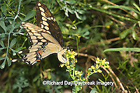 03017-008.05 Giant Swallowtail (Papilio cresphontes) female laying eggs on Common Rue (Ruta graveolens) Marion Co.  IL