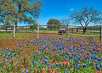 Bluebonnets, indian paintbrush wildflowers along the road in the Texas Hill Country. We found this abundant field of flowers with this old wagon along the  road in the hill country and stopped to capture it.