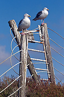 HERRING SEAGULLS (Larus Argentatus) perched on a fence post ELKHORN SLOUGH - MOSS LANDING, CA