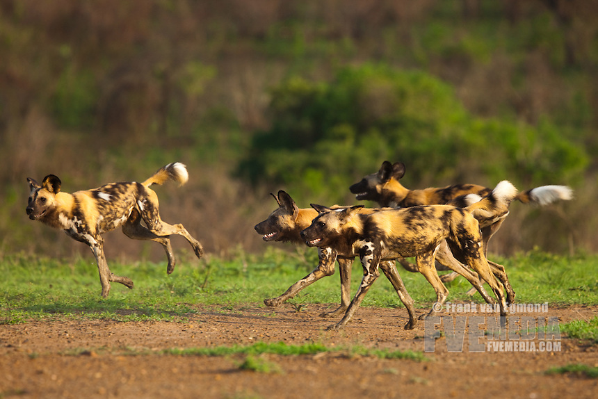 African Wild Dogs (Lycaon pictus) running towards Buffalo...Hluhluwe Imfolozi Game Reserve..Kwazulu-Natal, South Africa..November 2010.