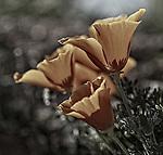 California Poppy<br /> species: Eschscholtzia california<br /> Antelope Valley CA. April 19, 2014. &copy; Fitzroy Barrett