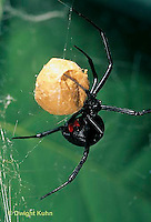 SI24-005z  Black Widow Spider with egg case - Latrudectus mactans