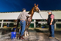 HALLANDALE, FL - JANUARY 27: California Chrome gets a bath after morning workouts, at Gulfstream Park Race Course on January 27, 2017 in Hallandale Beach, Florida. (Photo by Douglas DeFelice/Eclipse Sportswire/Getty Images)