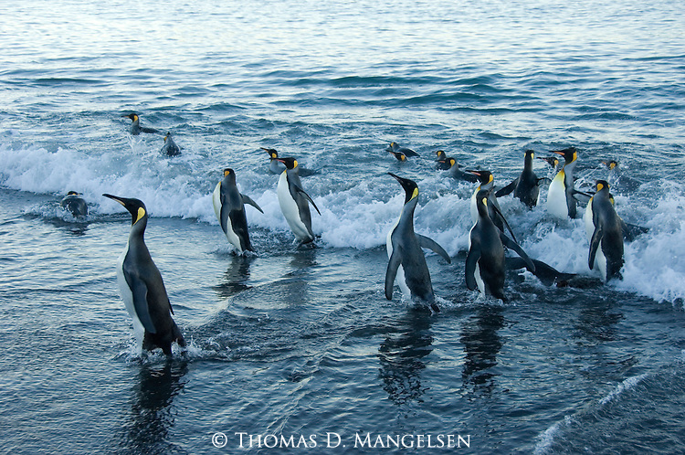 King Penguins leaving the ocean on Salisbury Plain in South Georgia.