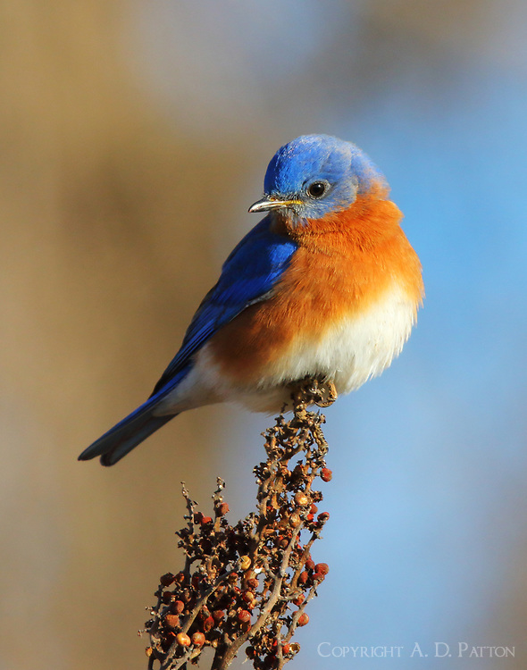 Male eastern bluebird at seed head