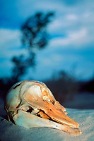 skull of vaquita, Phocoena sinus, which died after being trapped in a fishing net, critically endangered species, endemic to the northernmost portion of the Sea of Cortez, Gulf of California, El Golfo, Mexico, Pacific Ocean