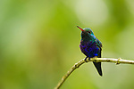 Violet-bellied Hummingbird (Juliamyia julie) male, Panama Rainforest Discovery Center, Gamboa, Panama