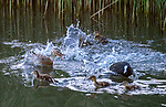 Pictured: The coot attacking the duck and ducklings<br /> <br /> A bird causes a manic scene as it attacks a duck protecting her ducklings.   The coot, which is very territorial, launches at the duck who was looking for food with her young family.<br /> <br /> But the protective mother strikes back and chases the coot away.   Amateur photographer and architect Albert Beukhof captured the scene near his home in Arnhem, Netherlands.  SEE OUR COPY FOR DETAILS<br /> <br /> Please byline: Albert Beukhof/Solent News<br /> <br /> © Albert Beukhof/Solent News & Photo Agency<br /> UK +44 (0) 2380 458800
