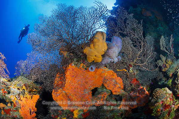 TR0278-D. scuba diver (model released) swims along wall plunging downward from coral reef rich with Deepwater Sea Fans (Iciligorgia schrammi) and sponges, including Orange Elephant Ear Sponge (Agelas clathrodes). Cayman Islands, Caribbean Sea.<br /> Photo Copyright &copy; Brandon Cole. All rights reserved worldwide.  www.brandoncole.com