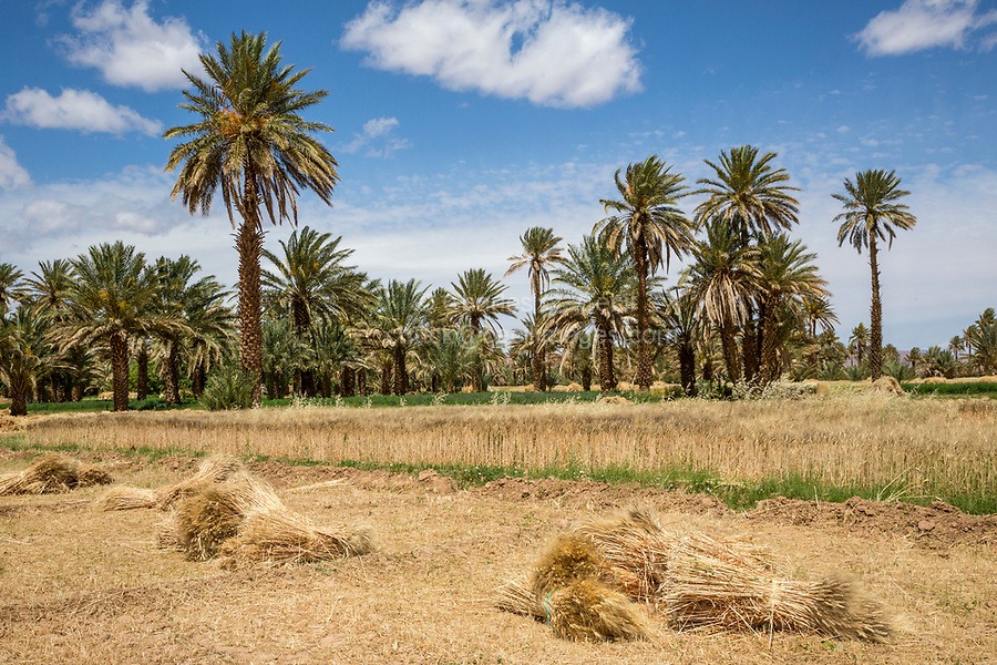 Alnif, Tinghir Province, Morocco.  Harvested Bales of Wheat waiting to be Collected.