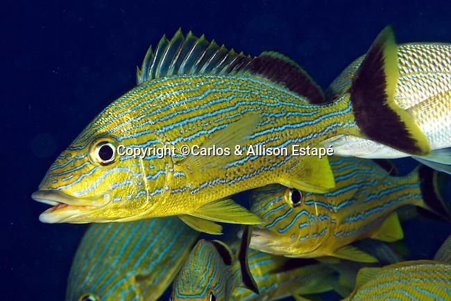 Haemulon sciurus, Bluestriped Grunt, Florida Keys
