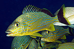 Haemulon sciurus, Bluestriped Grunt, Florida Keys