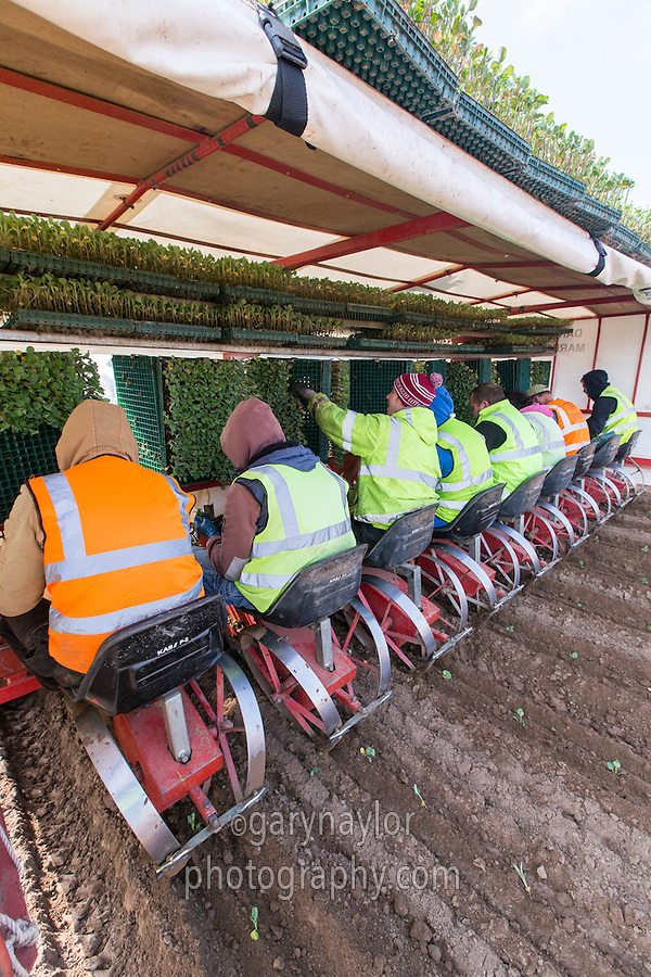 Planting calabrese - Lincolnshire, April