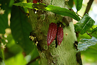 Young cocoa seed pods grow on a tree at  Lucien kro camp.