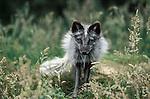 Arctic Fox, Alopex lagopus, summer coat, black and grey, ....