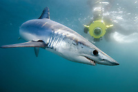 shortfin mako shark, Isurus oxyrinchus, and videographer, San Diego, California, USA, Pacific Ocean